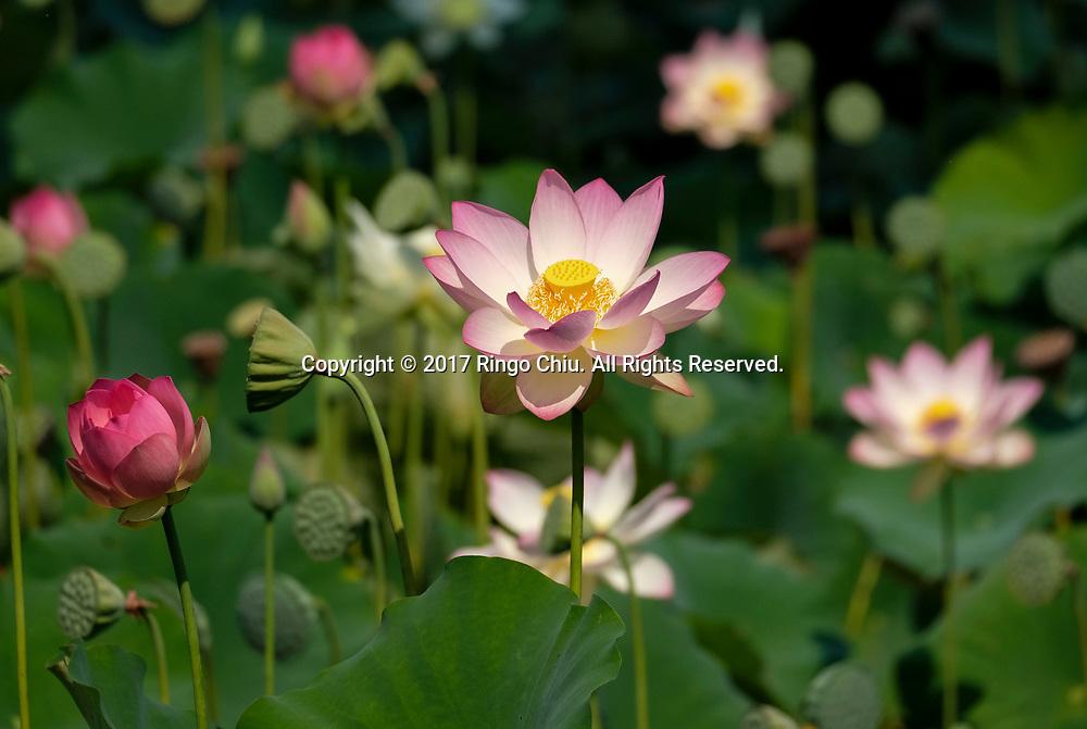 7月12日,在美国洛杉矶市中心附近的回声公园,荷花盛开。一年一度的莲花节将于七月十五至十六日举行,届时不但可观赏盛开的荷花,还将有各式亚洲美食、民俗表演和手工艺品展出。新华社发 (赵汉荣摄)<br /> Lotus flowers blossom on Wednesday, July 12, 2017 at Echo Park near downtown Los Angeles, the United States. The annual Lotus Festival will hold on July 15-16. The Festival was originally named &quot;The Day of the Lotus&quot;, and the purpose was to promote an awareness and understanding of the contributions by the Asian and Pacific Islander people to American culture and the local and surrounding communities. (Xinhua/Zhao Hanrong)(Photo by Ringo Chiu)<br /> <br /> Usage Notes: This content is intended for editorial use only. For other uses, additional clearances may be required.