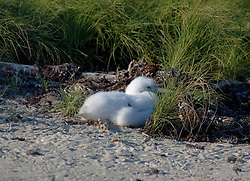 A masked Boobie chick shelters behind a grassy tussock on Adele Island.