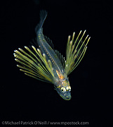 A juvenile and invasive Lionfish, Pterois volitans, drifts in the Gulf Stream off the Palm Beach, Florida, United States coastline.