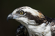 Osprey at the Center for Birds of Prey November 15, 2015 in Awendaw, SC.