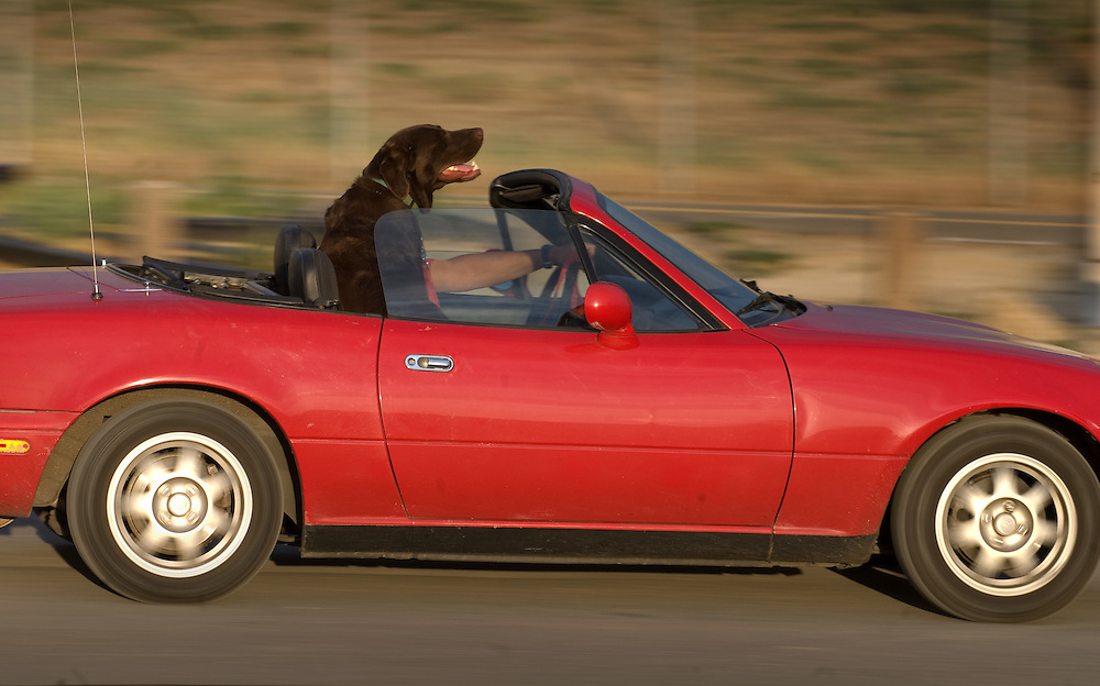 Who's driving who as an owner takes his dog away from the new dog park at Sutter's landing.