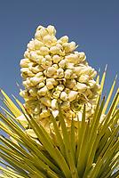 Flowering stalk of a Joshua Tree (Yucca brevifolia), Joshua Tree National Park California
