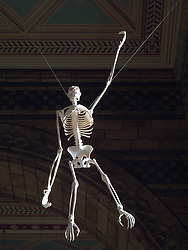 UK ENGLAND LONDON APR11 - A Chimpanzee skeleton hangs at the Natural History Museum in Kensington, London. The museum is home to life and earth science specimens comprising some 70 million items within five main collections: Botany, Entomology, Mineralogy, Palaeontology and Zoology...jre/Photo by Jiri Rezac..© Jiri Rezac 2011