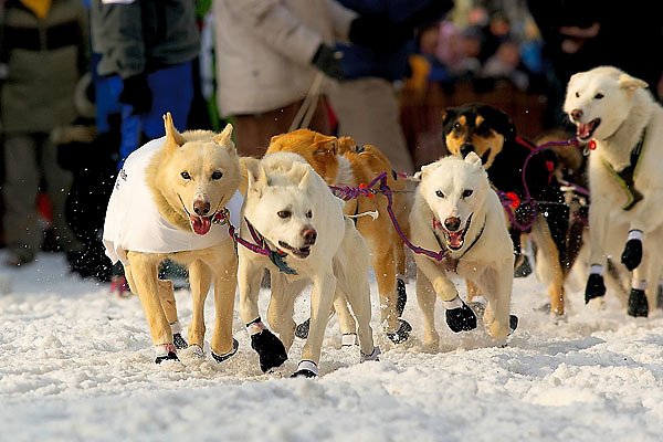04 March 2006: Anchorage, Alaska - The team of Ryan Redington, grandson of Iditarod co-founder, Joe Redington, heads out during the Ceremonial Start in downtown Anchorage of the 2006 Iditarod Sled Dog Race