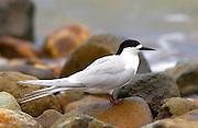 White-fronted tern (Sterna Striata)  in North Island, New Zealand