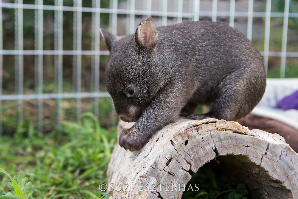Common Wombat <br /> Vombatus ursinus<br /> Six-month-old orphaned joey (mother was hit by car) climbing log<br /> Bonorong Wildlife Sanctuary, Tasmania, Australia<br /> *Captive- rescued and in rehabilitation program