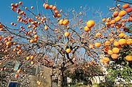 Ripe persimmon fruit in the village of Brtonigla, near Buje, in northwest Istria, Croatia (November 2016) © Rudolf Abraham