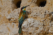 European Bee-eater (Merops apiaster)  near its nest with a bee in its bill, Sea of Galilee, israel