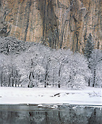 Black oaks, Merced River and El Capitan, Yosemite Valley, Yosemite National Park, California