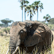 Front view of an elephant grazing at Tarangire National Park in northern Tanzania not far from Ngorongoro Crater and the Serengeti.