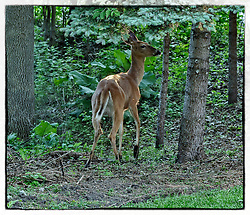 I think the white-tailed deer finally had enough vegetation and bird seed. Now time to head to another location.