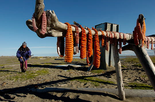 Arctic Char(Salvenlinus alpinus) hanging to dry in Barrows, Alaska.