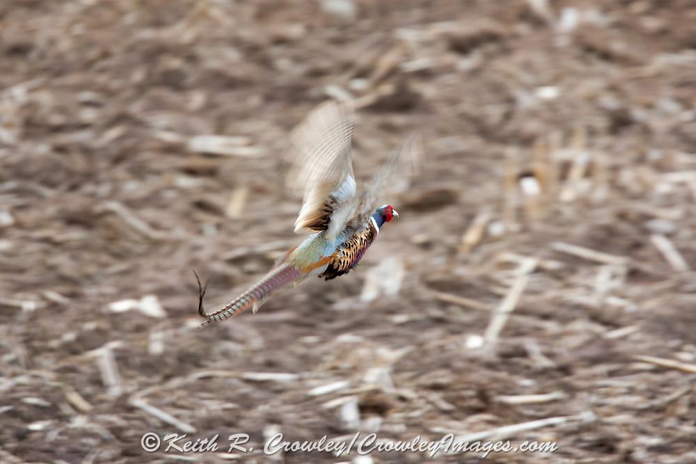 Rooster pheasant in breeding plumage