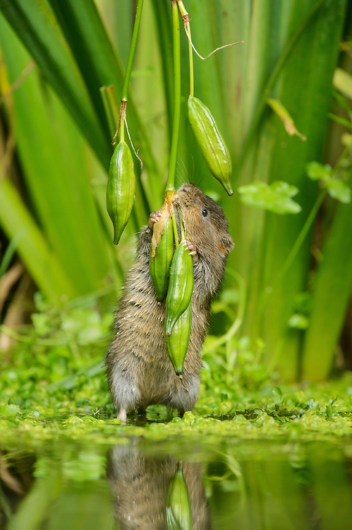 Water vole (Arvicola amphibius) feeding on yellow flag (Iris pseudacorus) seed pods, Kent, England, UK. Contrived situation.