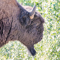 Large male buffalo looks for a resting place alongside the Alaska Highway, northern British Columbia, Canada