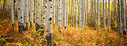 Old growth aspen grove in autumn on McClure Pass near Aspen, Colorado