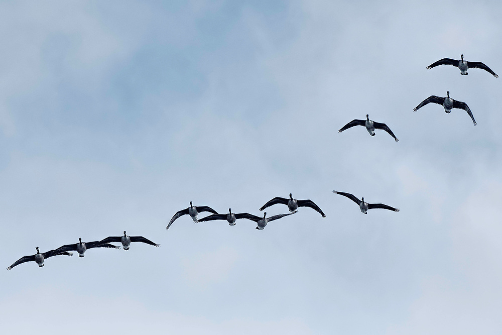 Flock of Canada Geese - Branta canadensis in flight againts a cold winter sky