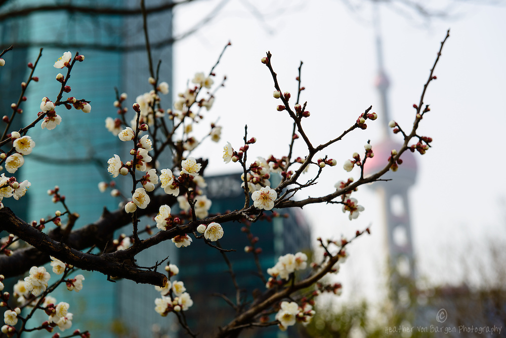 Cherry Blossoms in Shanghai