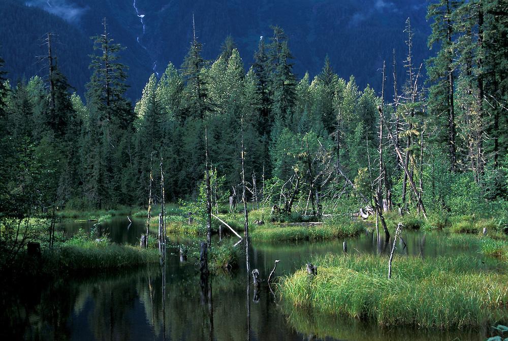 Bald Eagle at Salmon Creek,.near Hyder,.British Columbia, Canada