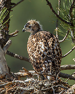 Fully grown nestling red-tailed hawk on nest in ponderosa pine tree. © 2011 David A. Ponton [Prints to 8x10, 16x20, 20x24 or 24x36 in. with no cropping]