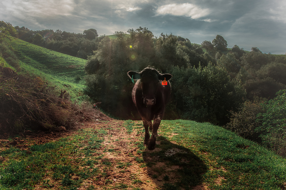 Young free-range cow in Briones, CA. Copyright 2017 Reid McNally.