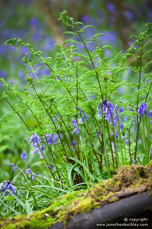 Broad Buckler-fern and bluebells. Dryopteris dilatata