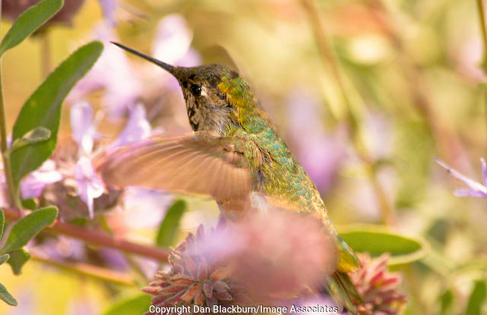 Anna's Hummingbird flits among flowers looking for nectar.