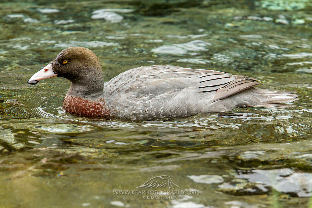 One of several blue ducks on the Arthur River, along the Milford Track in Fiordland National Park.