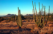 MEXICO, LANDSCAPE, NORTH MEXICO Desert scenery with cactus in the Sonoran  Desert in the State of Sonora near  Hermosillo