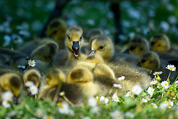 © Licensed to London News Pictures. 06/05/2020. Rickmansworth, UK.  A large clutch of Canada Goose goslings sits amongst daisies during warm weather at Rickmansworth Aquadrome in the north west of the capital.  Wildlife has enjoyed the absence of humans around their environment during the ongoing coronavirus lockdown.  Photo credit: Stephen Chung/LNP