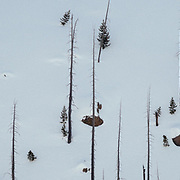 Trees burned by the 1988 Yellowstone wildfires line the slopes of Lewis River Canyon in winter.