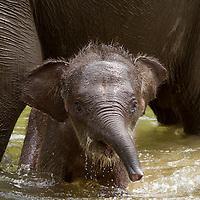 Bebe elephant de sumatra, Aceh, Sumatra