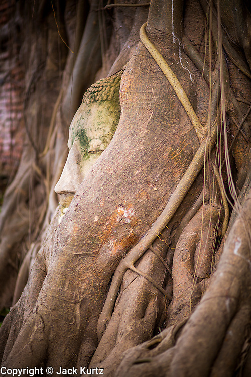 03 OCTOBER 2012 - AYUTTHAYA, THAILAND: The Buddha head in a fig tree at Wat Mahathat, which was once the temple of the Royal Court, in Ayutthaya. The Buddha head is one of the landmarks of the temple and the city. Ayutthaya is the former imperial capital of what was then Siam, now Thailand. Founded around 1350, Ayutthaya became the second capital of Siam after Sukhothai. Ayutthaya's location between China, India and the Malay Archipelago made Ayutthaya the trading capital of the rgion. By 1700 Ayutthaya was the largest city in the world with a total of 1 million inhabitants. The Ayutthaya empire and city were defeated by Burmese forces in April, 1767 when the city was sacked and its art treasures, libraries and archives were destroyed. All that remains in Ayutthaya now are ruins of former imperial temples and palaces because those were the only stone buildings of the time. Ayutthaya is less than 100 miles from Bangkok and is a popular day trip destination for Thai and foreign tourists.  PHOTO BY JACK KURTZ