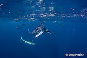 striped marlin, Kajikia audax (formerly Tetrapturus audax ), knocks a sardine down with its bill and prepares to swallow it while feeding on baitball of sardines or pilchards, Sardinops sagax, off Baja California, Mexico ( Eastern Pacific Ocean )