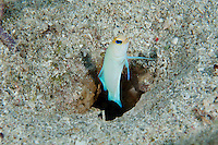 Yellowhead Jawfish peeks from its burrow..Shot in British Virgin Islands