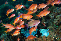 A male Anthias (purple) with his harem of females (orange) <br /> <br /> Shot in Indonesia