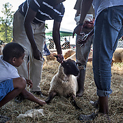 "DUMFRIES, VA - SEP12: Dr. Mohamed Elsanousi (left), and his nephew Elnzeer (right), and his son, Nabeel, 11, choose a sheep to be slaughtered in honor of Eid al-Adha, the ""Feast of the Sacrifice"", at the Shah Farm in Dumfries, Virginia. (Photo by Evelyn Hockstein/For The Washington Post)"