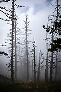 Moody forest in the fog. Col de Mantet, Pyrenees Orientales, France. <br /> Réserve Naturelle nationale de Mantet<br /> .