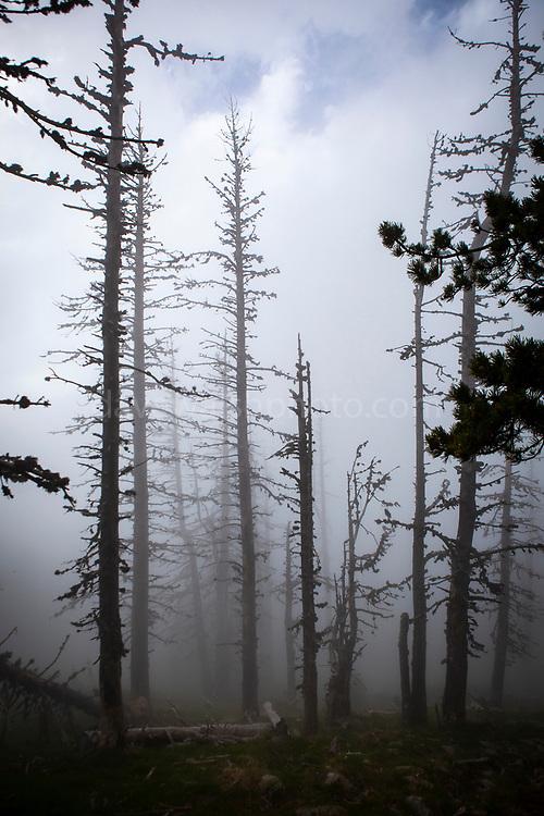 Moody forest in the fog. Col de Mantet, Pyrenees Orientales, France. <br /> Réserve Naturelle nationale de Mantet<br /> .