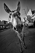 The donkeys roam free in Oatman, Arizona.