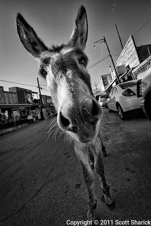 The donkeys roam free in Oatman, Arizona.