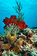 Underwater photograph of a small patch of coral reef with variety of colorful corals near Cozumel, Mexico