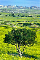 A gnarled juniper tree in the Badlands Wilderness area in the Sage Creek Unit.  At 64,000 acres, its the largest wilderness area on the North American prairie.   Badlands National Park, South Dakota.