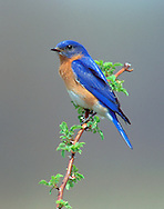 Eastern Bluebird (Sialia sialis) male, perched on blackberry branch while hunting insects (Indiana)