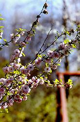 06-04-2007 NATUUR: FLORA EN FAUNA: MAARSSEN<br /> Flora - Prunus / Bloemen en Planten<br /> ©2007-WWW.FOTOHOOGENDOORN.NL
