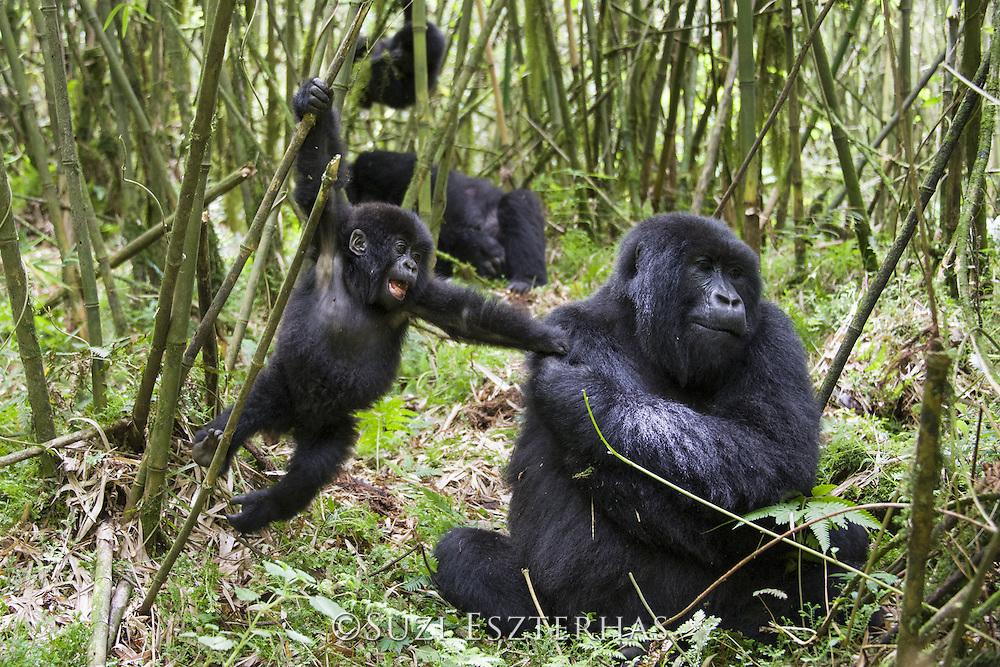 Mountain Gorilla<br /> Gorilla gorilla beringei<br /> Mother and 2 year old baby<br /> Parc National des Volcans, Rwanda<br /> *Endangered species