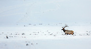 Large bull elk crossing winter habitat