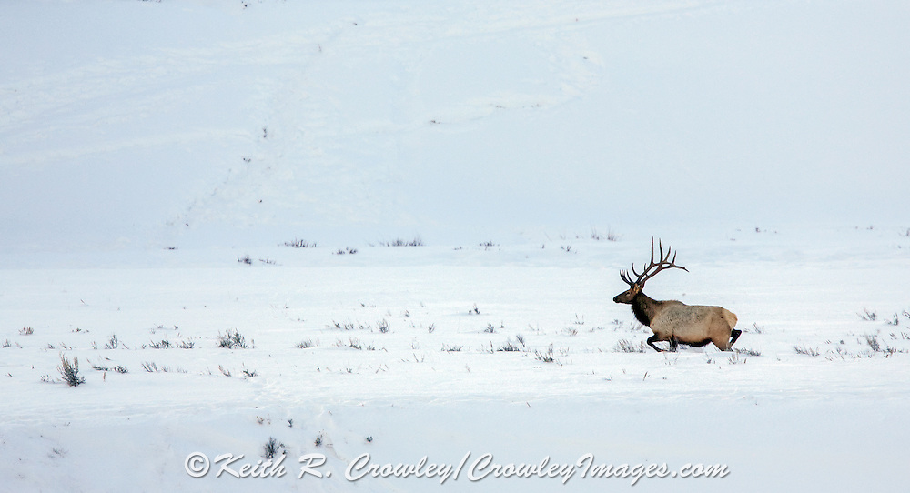Large bull elk crossing winter habitat