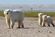 Adult female polar bear (Ursus maritimus) with first year cubs, Nanuk, Hudson Bay, Manitoba, Canada