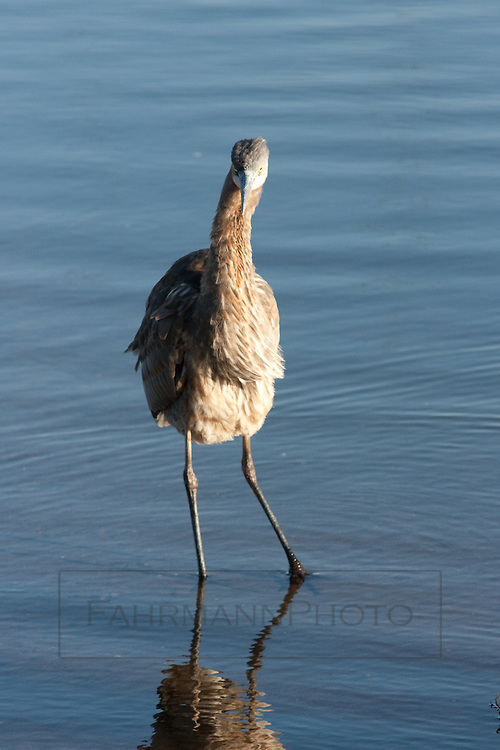 Young Great Blue Heron  on the shore of Lake Nokomis in Autumn